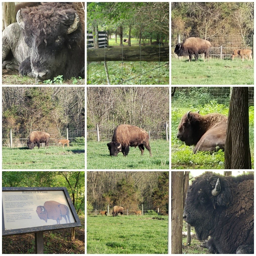 a collage of bison photos