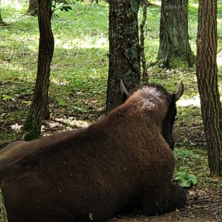 Another bison with his back turned towards me at Big Bone Lick State Park in Kentucky.