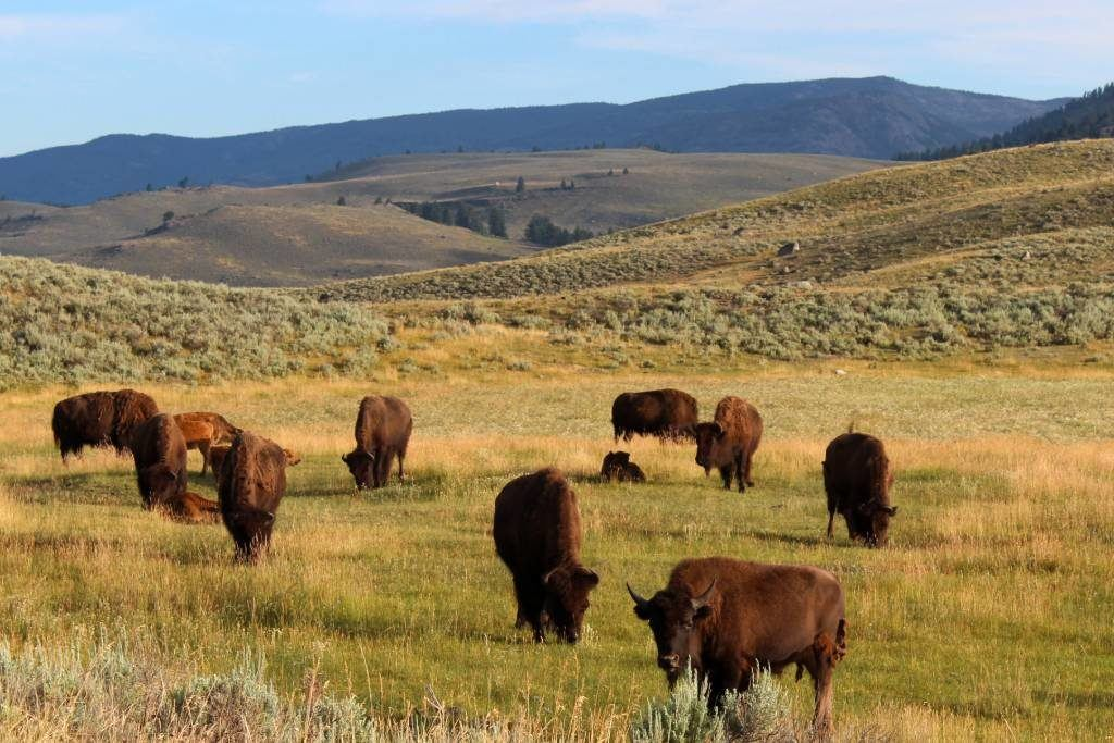 Bison can be spotted first thing in the morning in Lamar Valley in Yellowstone.