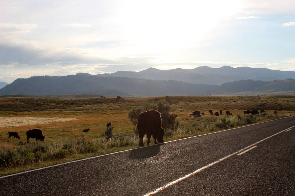 Bison standing along the road in Yellowstone National Park.