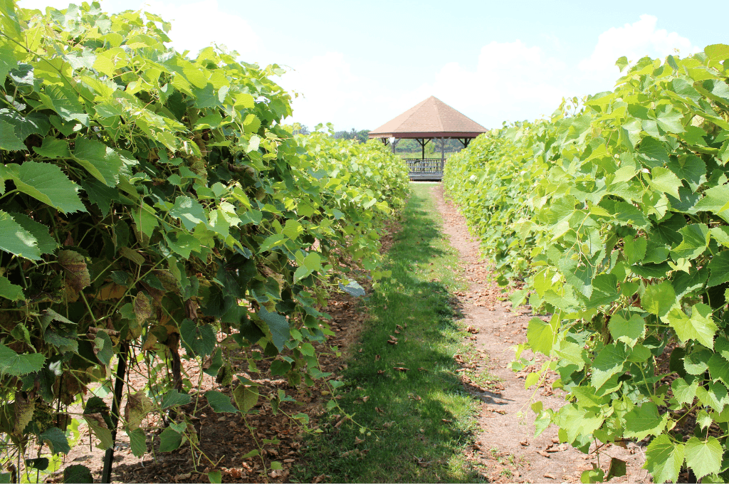 Strolling though the rows of grapevines in a vineyard in Ohio towards a gazebo.