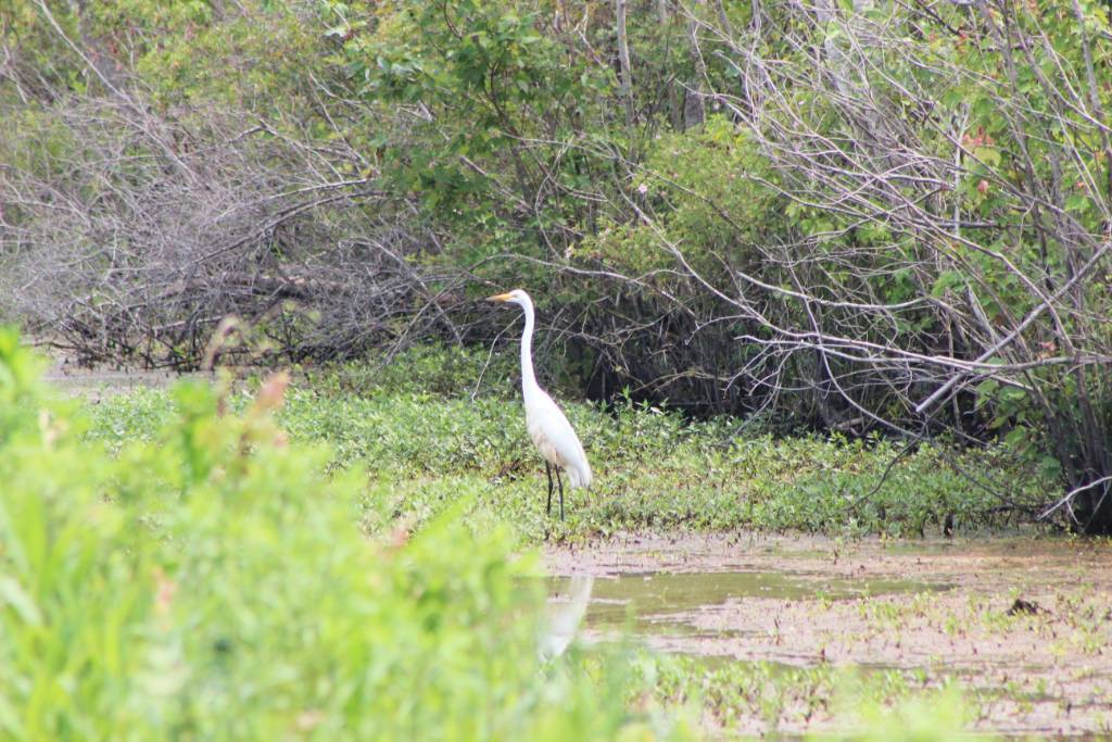 Driving through a wildlife refuge in the Outer Banks when I spotted this white heron in the water alongside the road in the ditch.