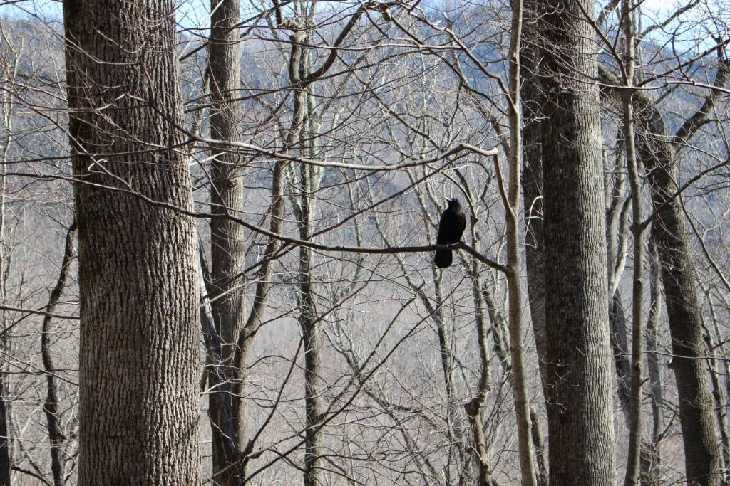 Even birds that can be a nuisance are still beautiful, like this crow that we spotted driving through the Smoky Mountains.