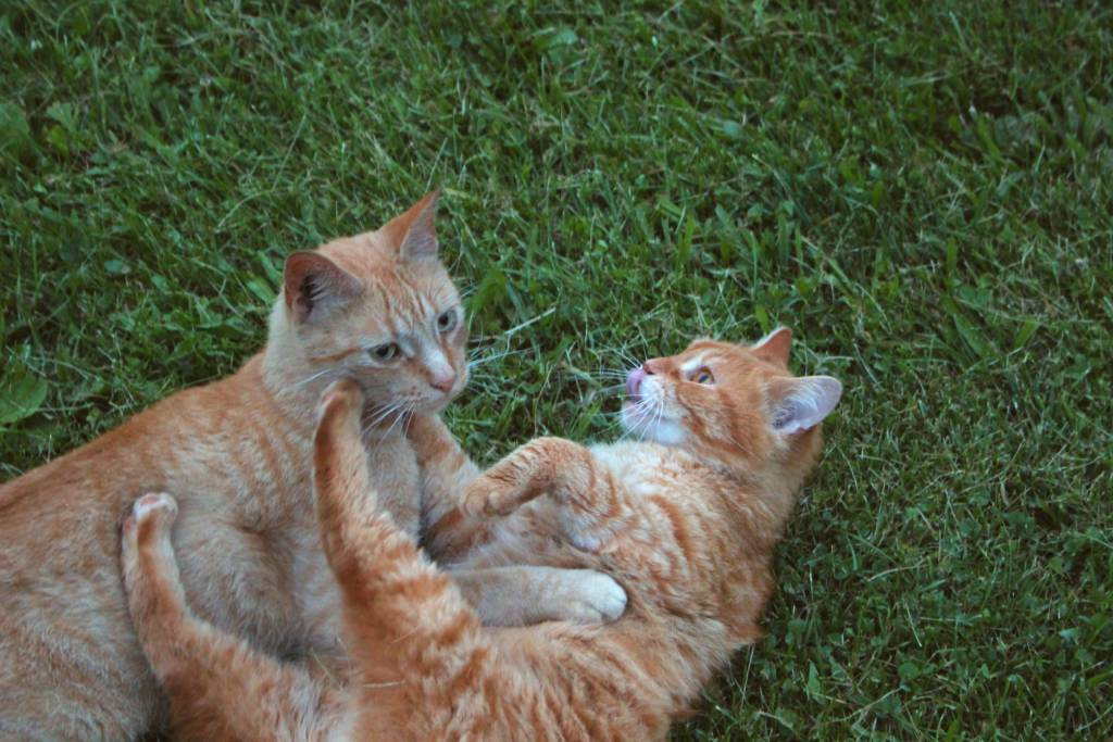Two orange cats playing in the yard.