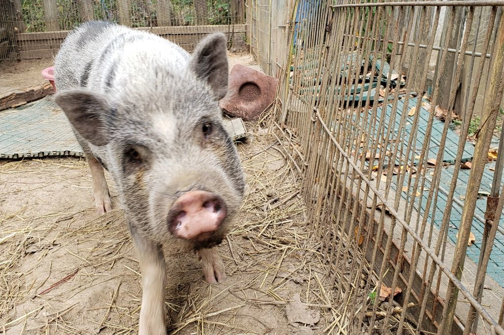 Pig in a petting zoo