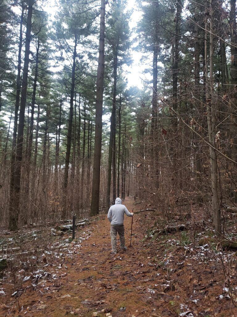 A man walking through a grove of tall evergreen trees.