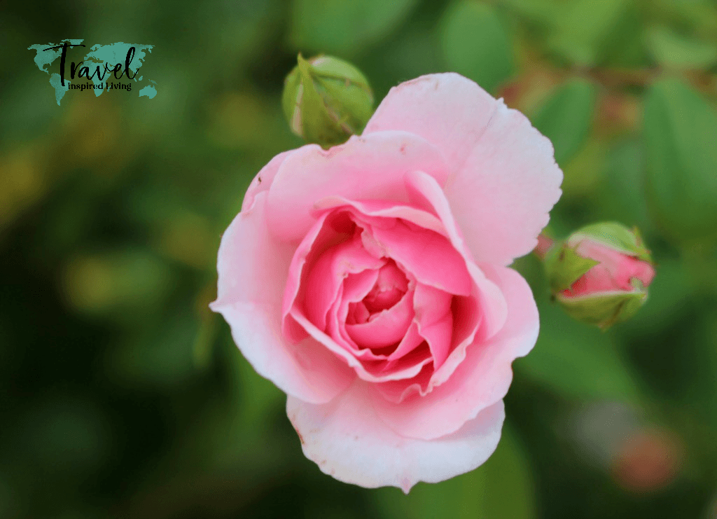 A blooming pink rose