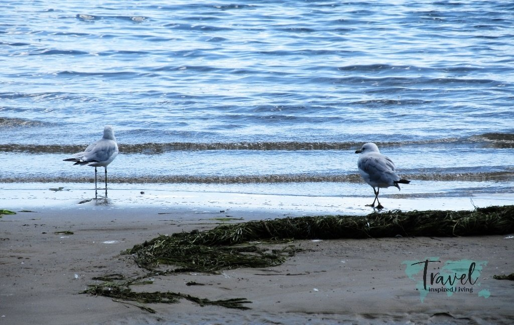 Seagulls on the edge of the water on a beach.
