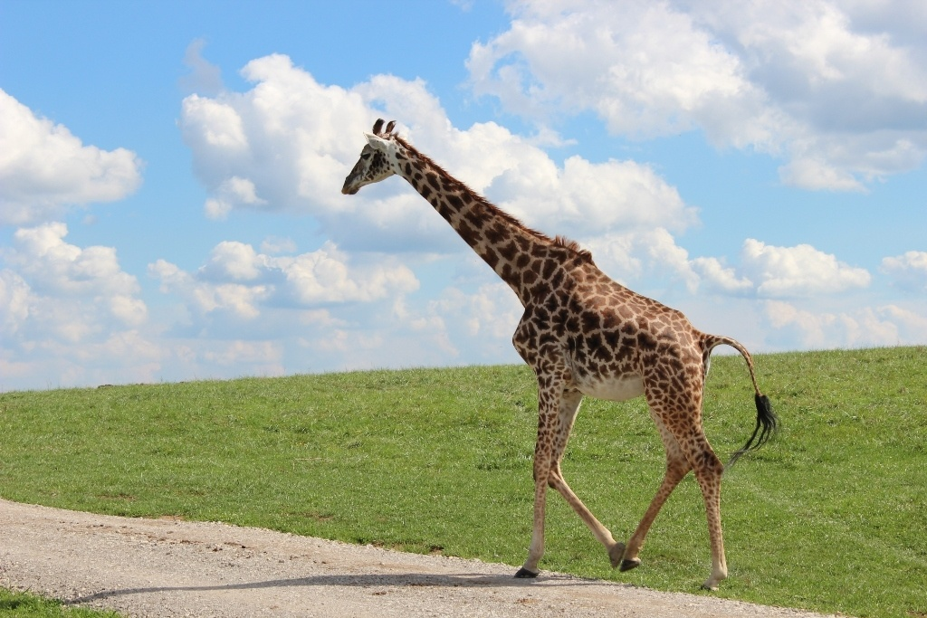A Giraffe walking along the road at The Wilds