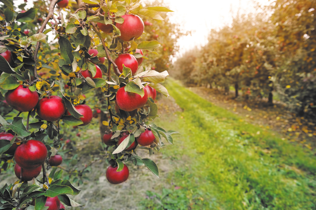 A path in an apple orchard lined with trees heavy with read apples on each side.