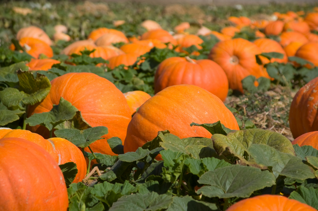 A pumpkin patch with large orange pumpkins ready to harvest.