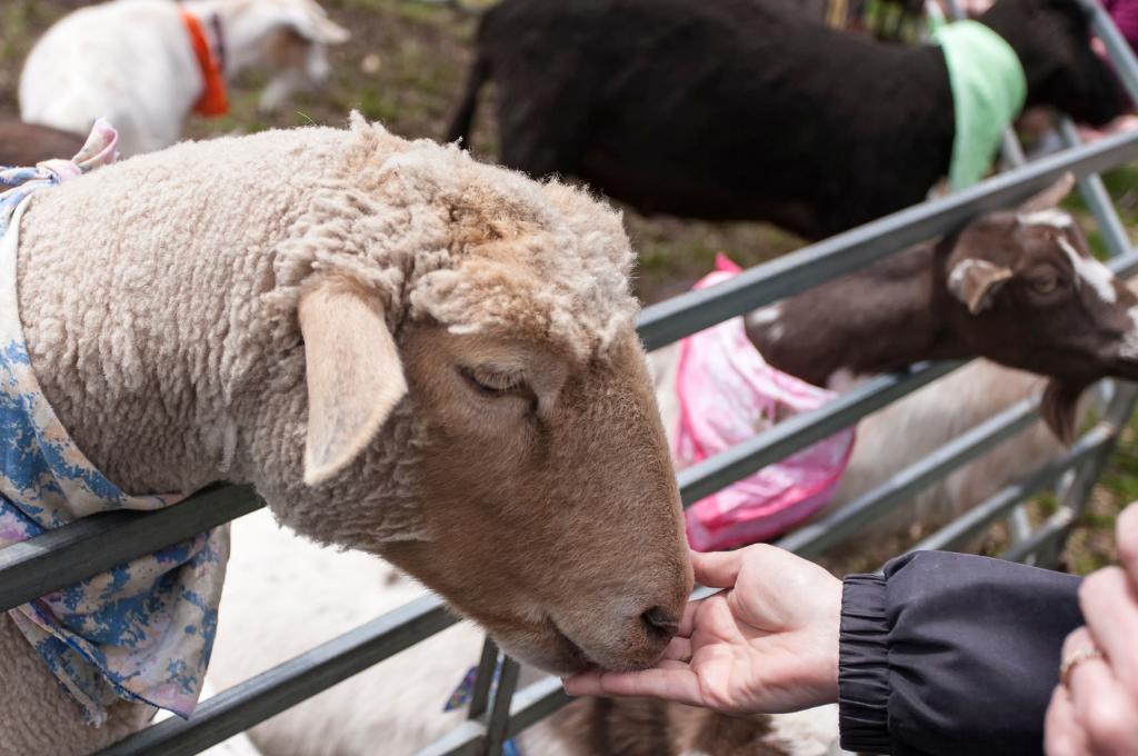 Petting sheep and feeding them at a Petting Zoo