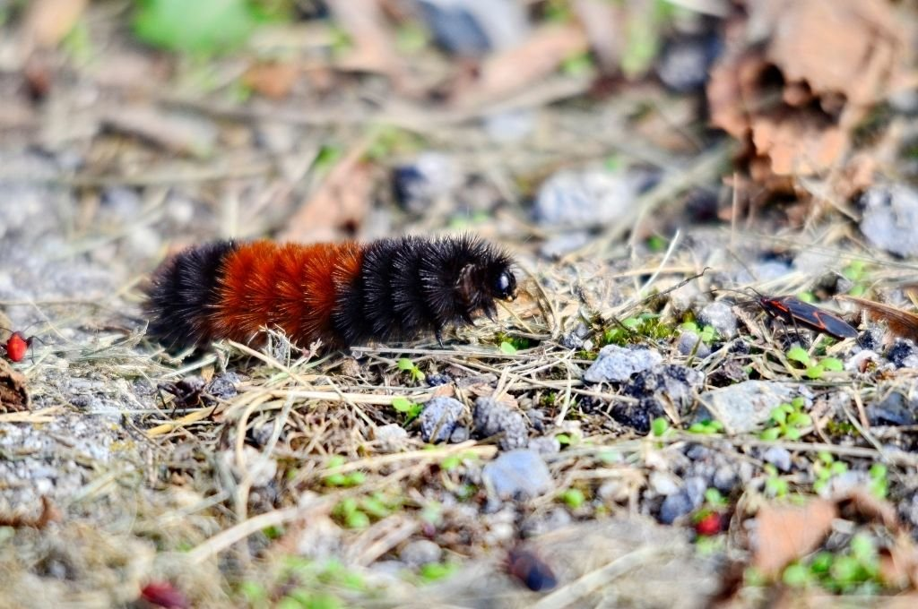 A woolly bear crawling over grass and gravel.